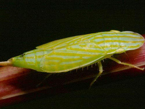 Neohecalus magnificus (Leafhoppers), © Chris Dietrich.