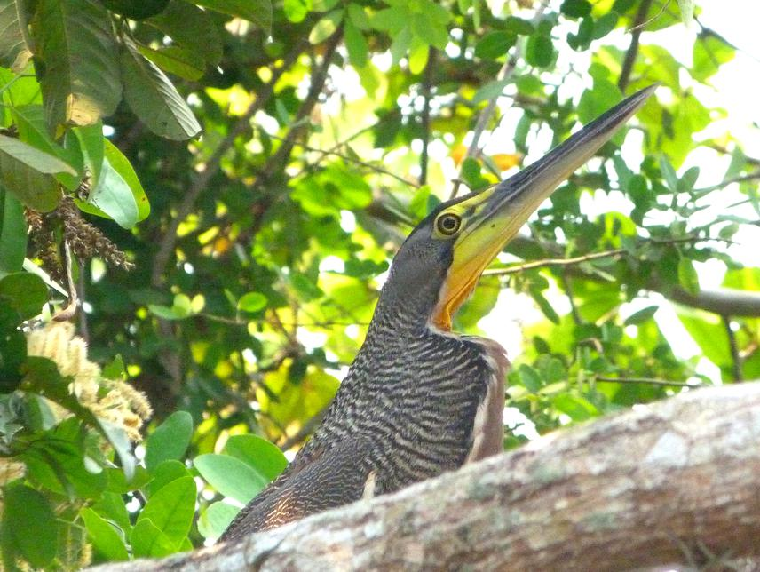 Picture of a Tigrisoma mexicanum that I took at Rio San Pedro, a tributary of the Usumacinta River in the southern border of the Laguna del Tigre National Park, Guatemala.