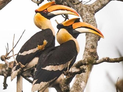 Hornbills. Utsab©Nature.
