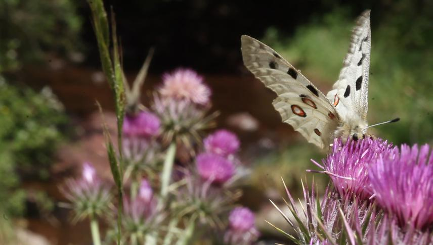 Parnassius apollo butterflies for the WIld interwiev series IUCN status Vulnerable. © Milos Popovic.