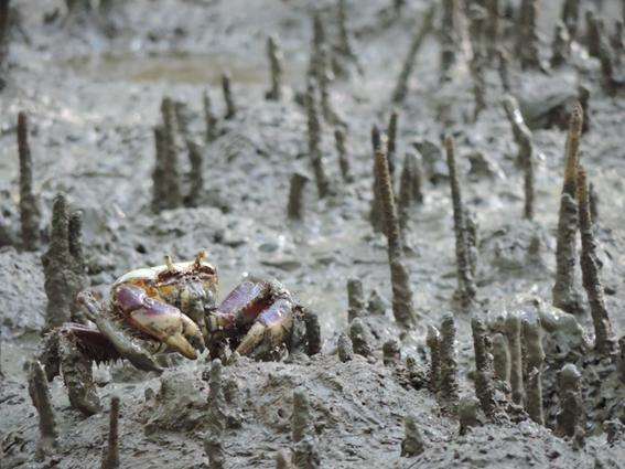 Specimen of Ucides cordatus (mangrove crab) of the Amazonian mangrove forest, northern Brazil. © Dayene S Mendes.
