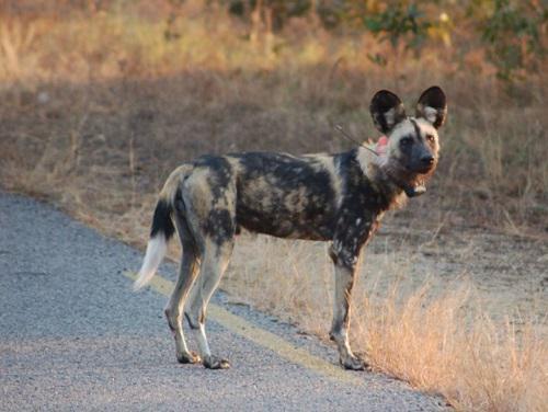 African wild dog. © Esther van der Meer.