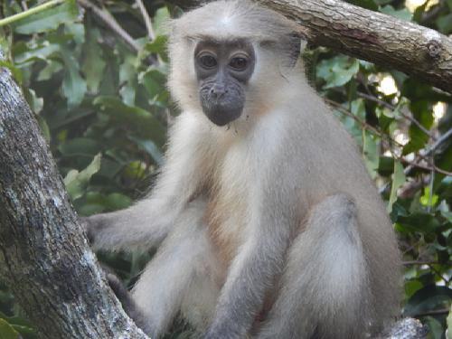 A juvenile Tana mangabey.