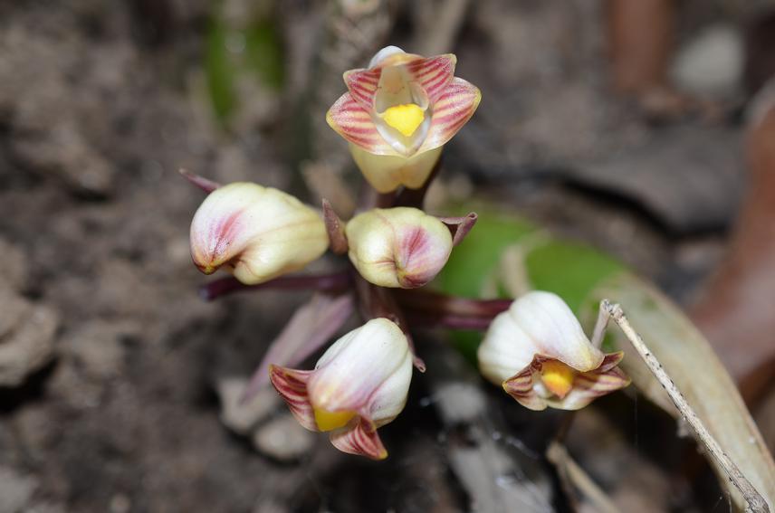 Acanthephippium gougahense.