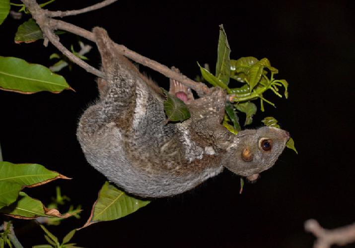 Colugo Eating Young Mango Leaves.