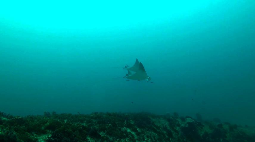 Cleaning devil rays.