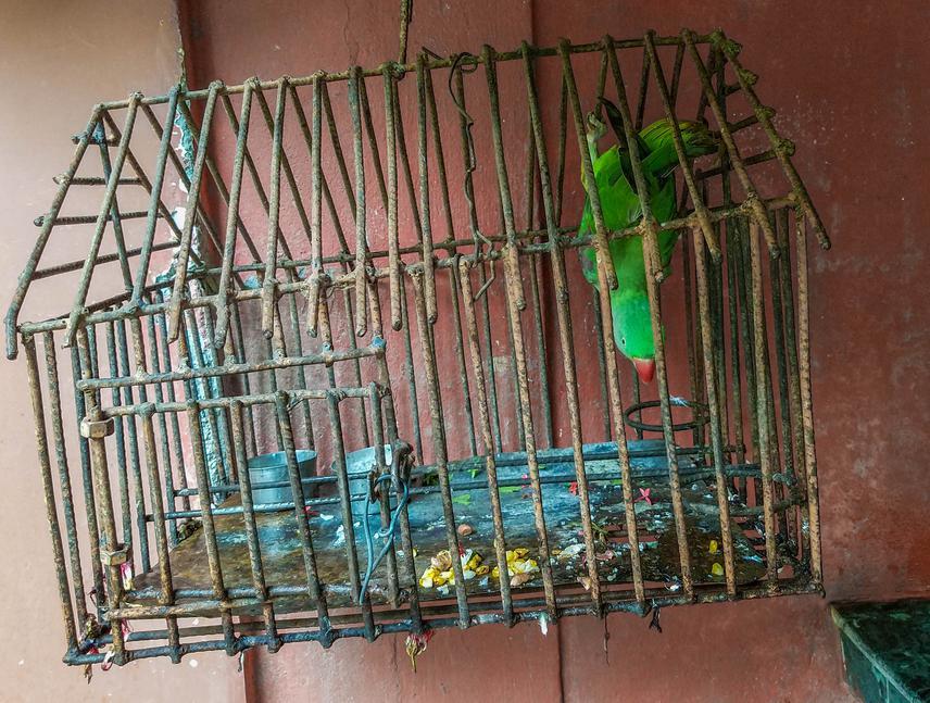 Alexandar parakeet kept as a pet.