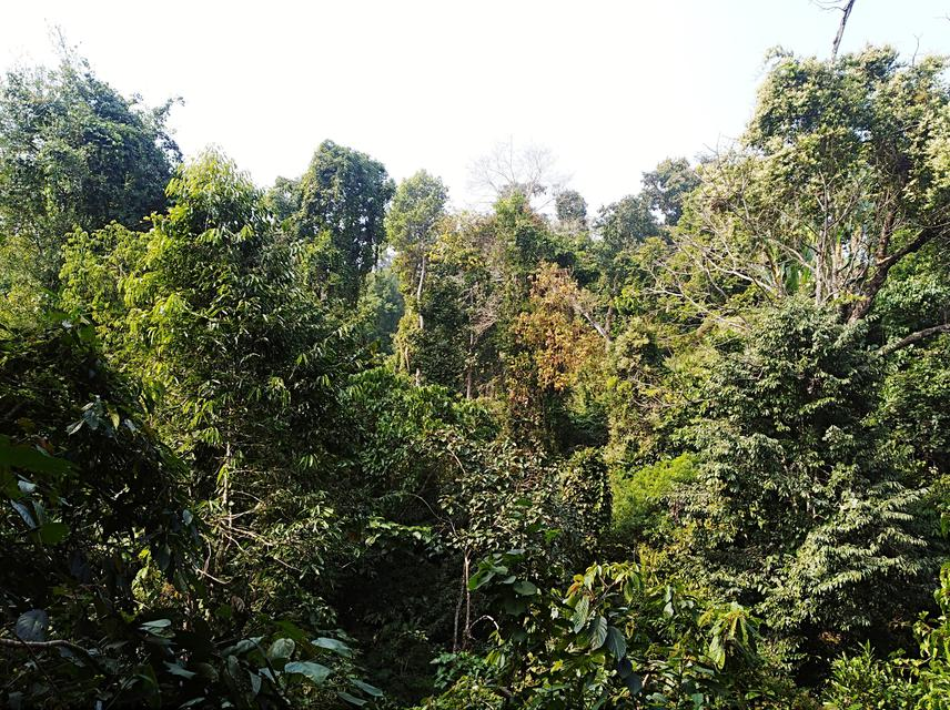 Gibbon habitat.