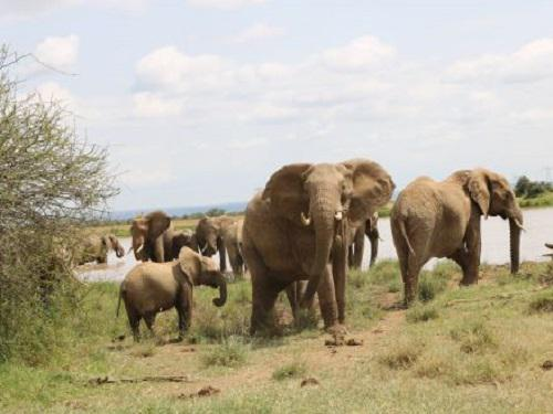 Skittish elephant family around watering hole.