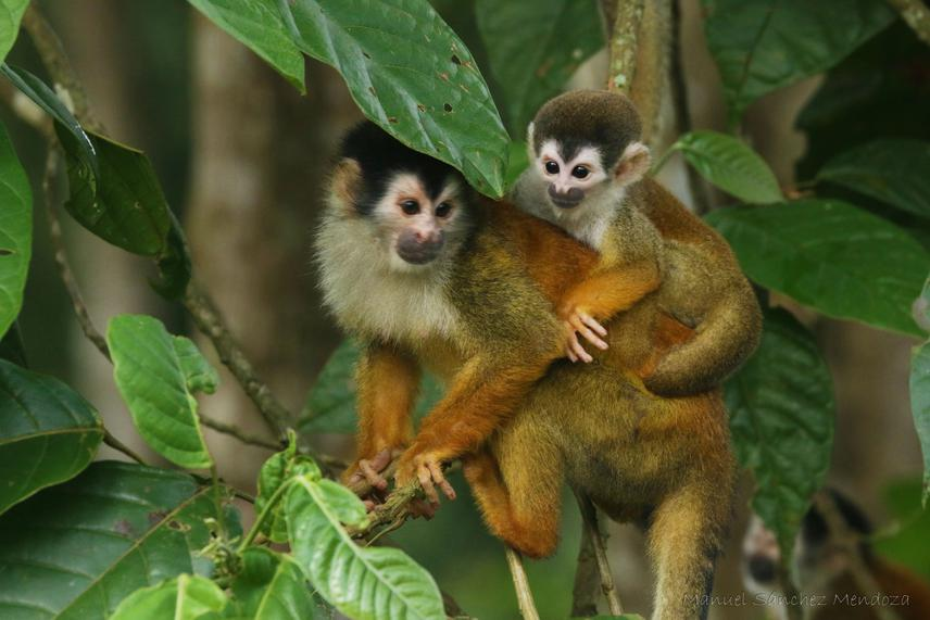 Central American squirrel monkey with its baby.