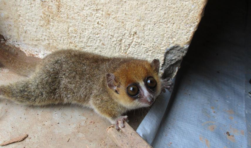 A rufous mouse lemur foraging next to a abandoned house. ©Veronarindra Ramananjato