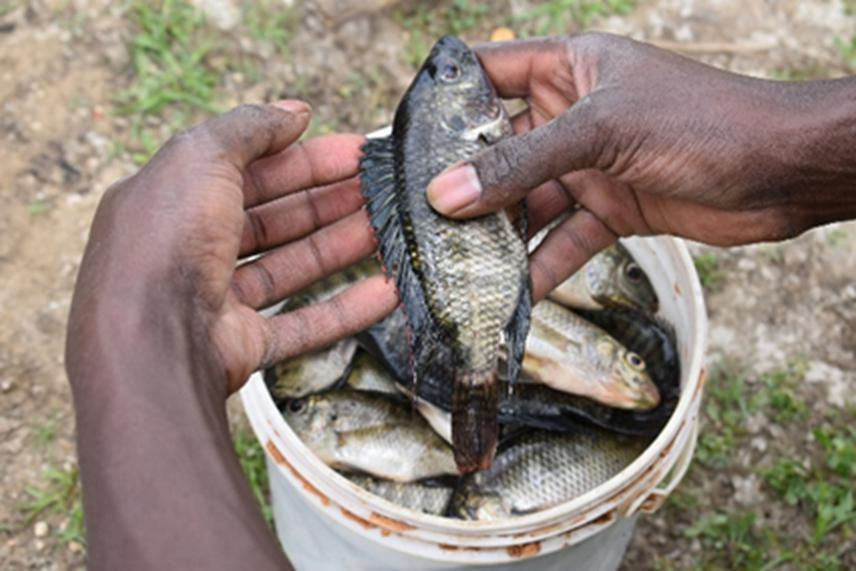 Sabaki Tilapia, Oreochromis spirulus, caught by fishers at L. Shakababo.