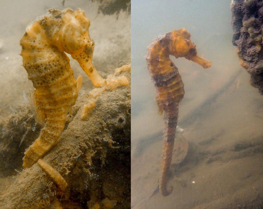 Hippocampus reidi (longsnout seahorse) in the Rio Formoso Estuary, PE, Brazil. © Fish and Marine Conservation Lab (LAPEC UEPB).