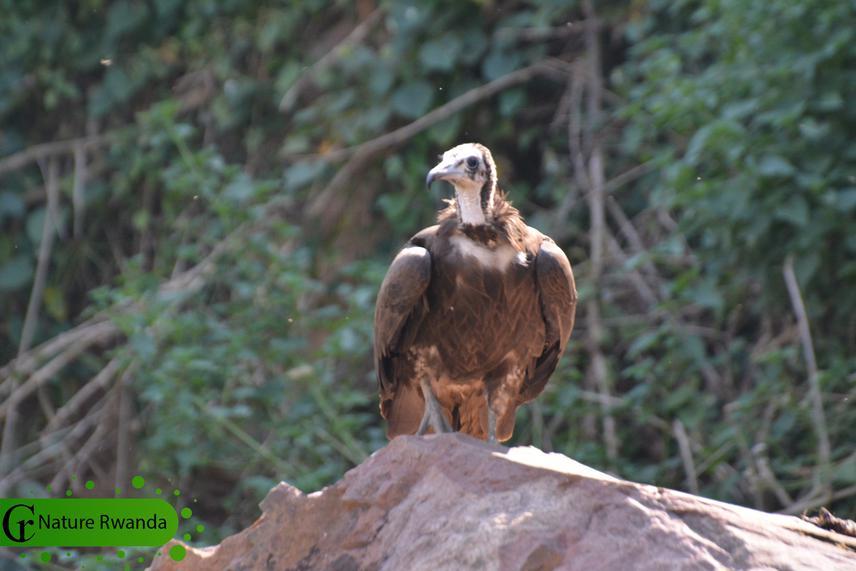 Critically Endangered Hooded Vulture in Rwanda, Nature Rwanda, 2020.