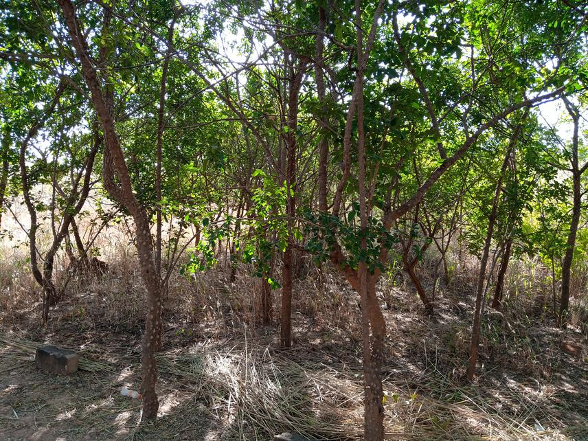 This picture shows a stand of Zanthoxylum zanthoxyloides (Lam.) Zepern. & Timler situated in a relic of vegetation within the Research Station of Farako-Bâ (near Bobo Dioulasso).
