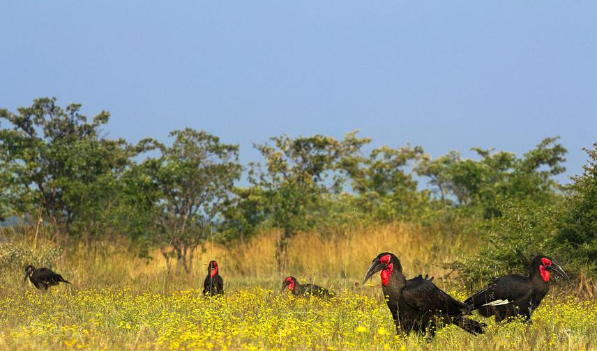 A group of Southern Ground-hornbills foraging in their natural habitat in the Limpopo province of South Africa. © Heinrich Nel