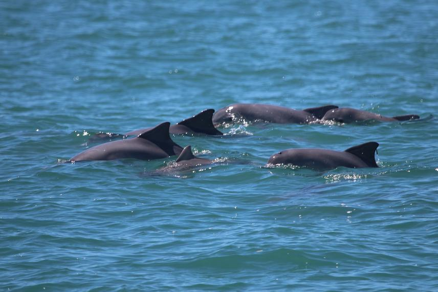 Group of Guiana dolphins at Ilha Grande bay.