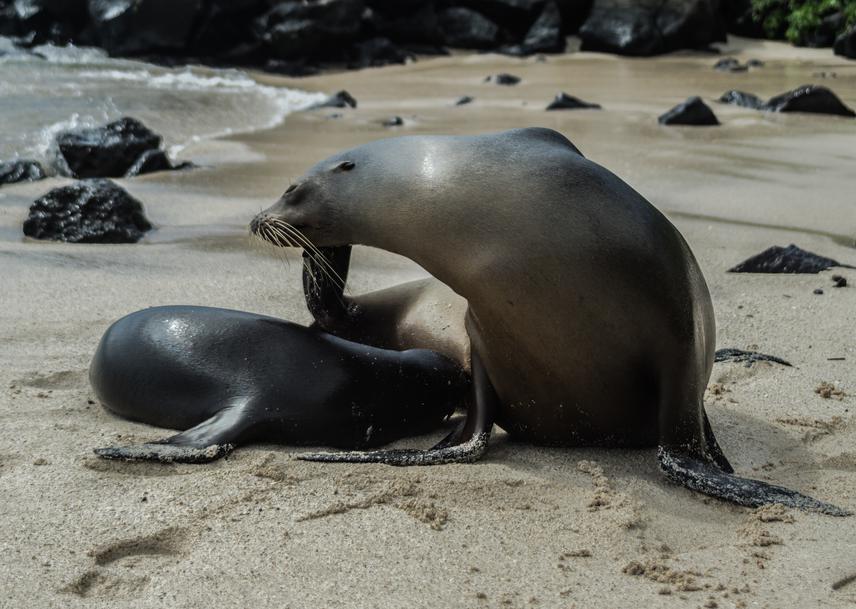 Galapagos Sea Lion mom breastfeeding her pup.