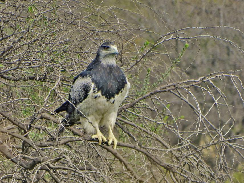 The Chilean eagle Geranoaetus melanoleucus