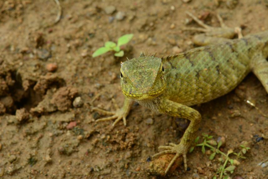 Model Reptile C. versicolor. © Deyatima Ghosh