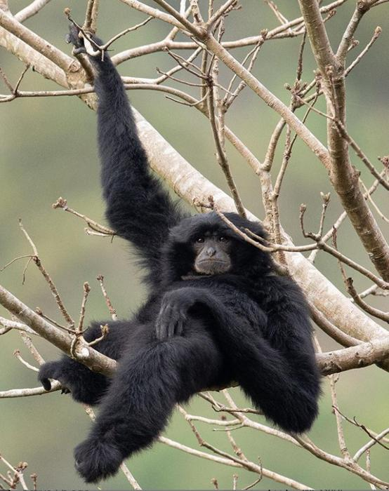 Siamang (Symphalangus syndactylus). © Peter Ong, Project Monyet.