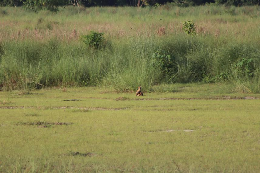 First sighting that inspired me to learn more about Dhole presence in CNP. ©Smritee Lama