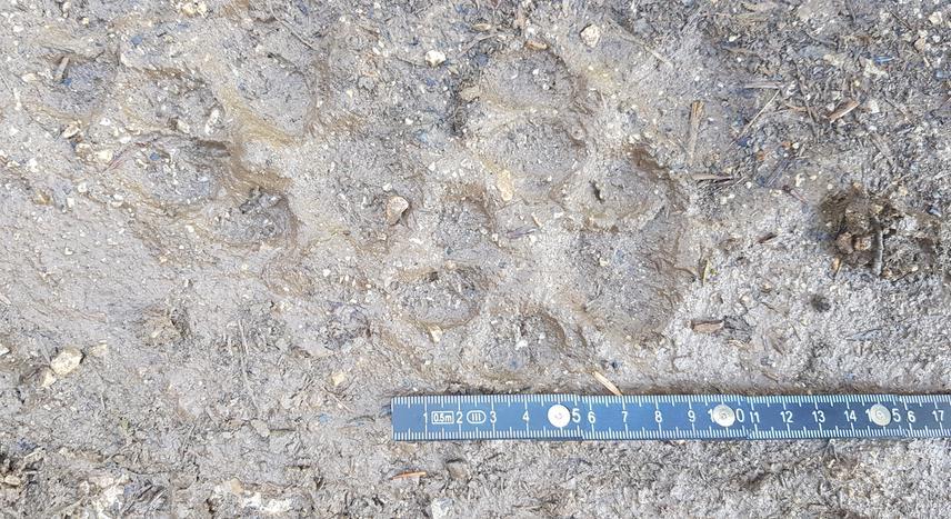 Lynx footprint on Maglić mountain