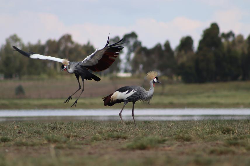 Gray crowned crane. © Martin Mwangi