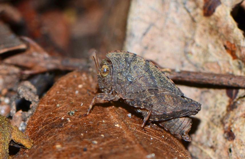 Adult Deltonotus subcucullatus. © Dhaneesh Bhaskar