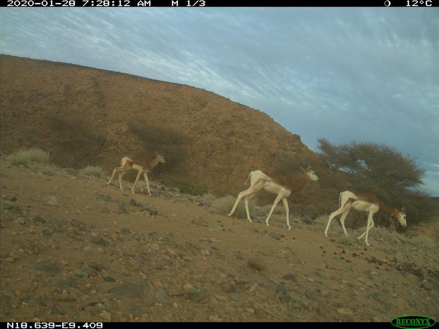Three dama gazelles, including a calf, captured by one of the camera traps set by SCF on Takolokouzet mount. © Abdoul Razack Moussa Zabeirou