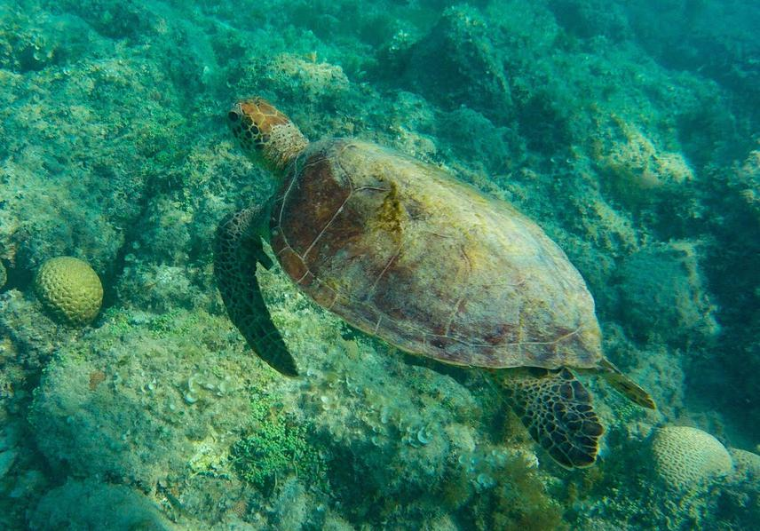 A juvenile green sea turtle swimming in the waters of Coroa Vermelha reef. © Camila Miguel