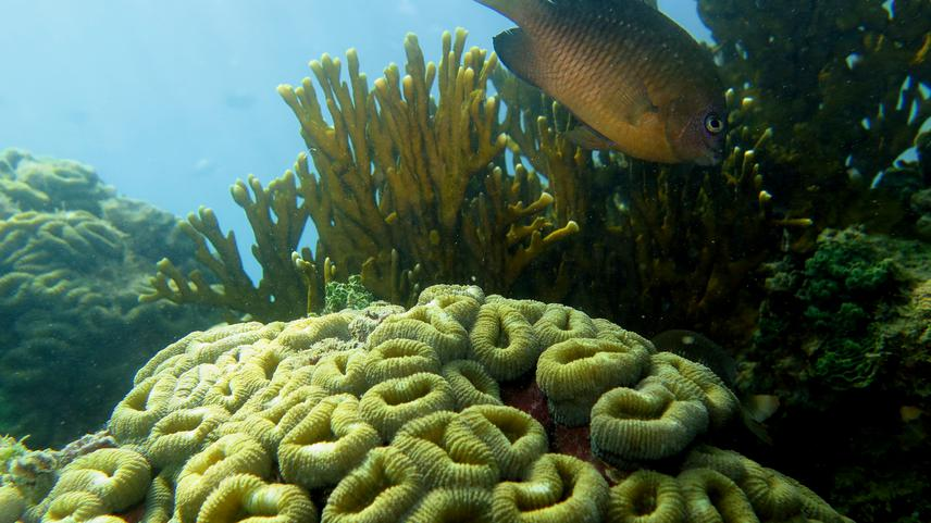 Endemic Brazilian coral, Mussimilia harttii at MPA Costa dos Corais. © Pedro Henrique Cipresso Pereira.