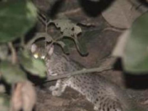 Rusty Spotted Cat foraging in riverine forest.