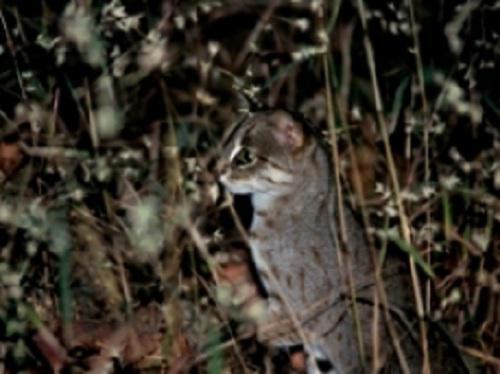 Rusty spotted cat. ©Kunal Patel.