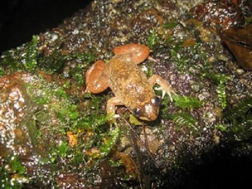 Togo Slippery frog, subadult.