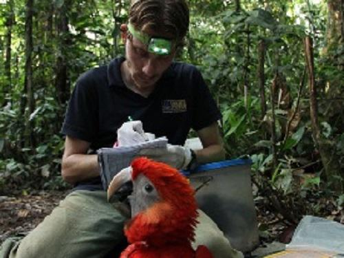 Taking measurements and samples of a Scarlet Macaw chick.