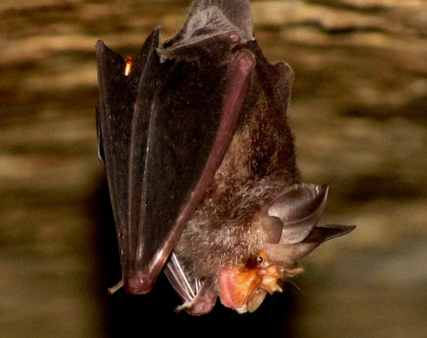 Insectivorous bats such as the Blyth's Horseshoe Bat can be encountered in forest caves. © Kadambari Deshpande