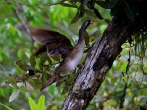 A female Masked Finfoot climbing up the tree trunk.