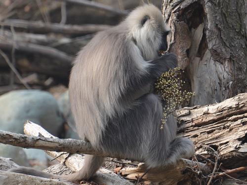 Langur feeding on seeds of Rhus succedanea.