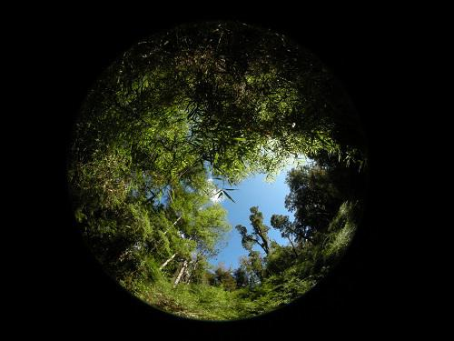 Hemispherical photography of the recalcitrant understory generated by the dominance of Chusquea quila in a Valdivian temperate rainforest.