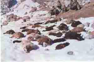 Sheep and goats killed by a snow leopard in Baltistan.